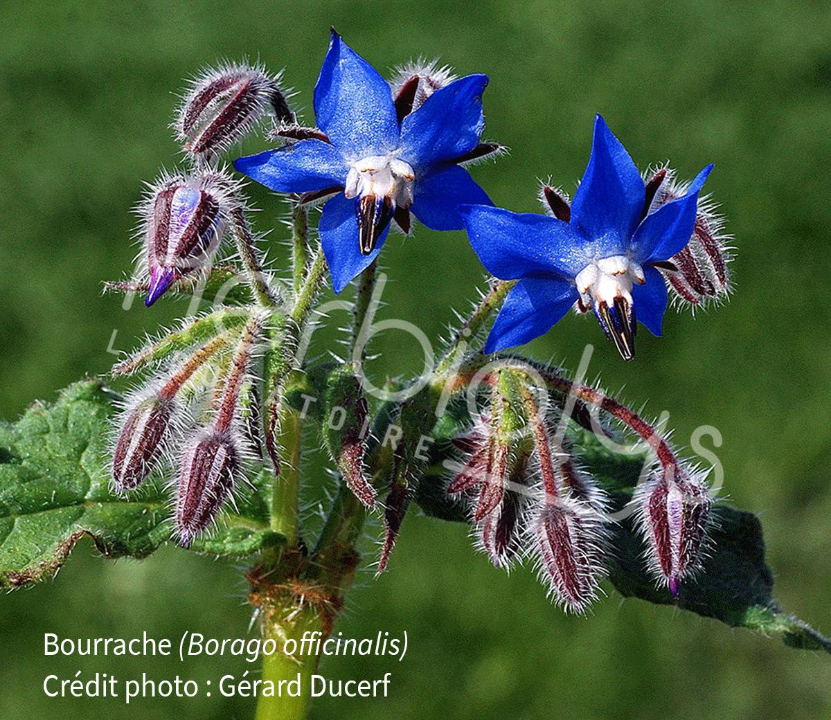 Herbiolys-phytotherapie-bourrache-borago-officinalis
