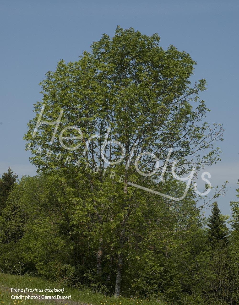 Frene-Fraxinus-excelsior-Herbiolys