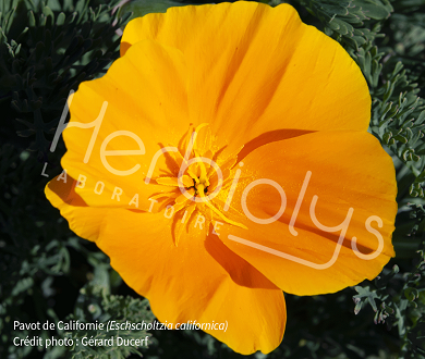 Pavot de californie Herbiolys