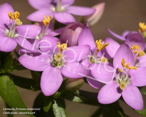 Herbiolys elixir floral Bach Centauree Centaury bio