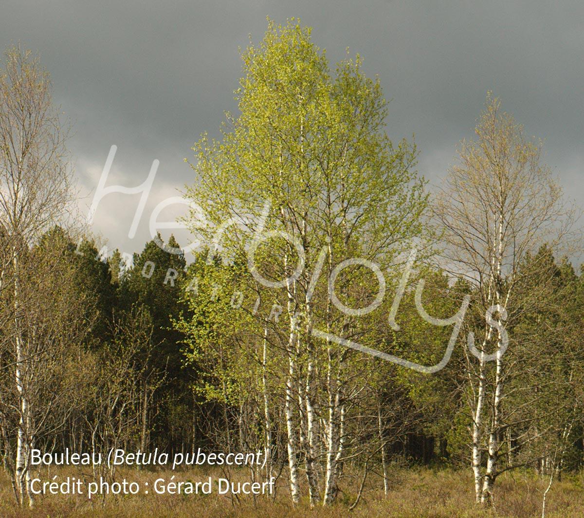 Herbiolys-bouleau-betula-pubescent