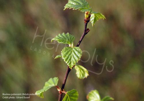 Herbiolys betula pubescens bouleau pubescent phytothérapie gemmothérapie bio