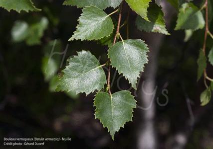 Herbiolys bouleau verruqueux feuille betula verrucosa phytothérapie