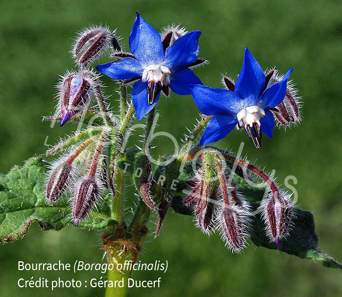 Herbiolys-phytotherapie-bourrache-borago-officinalis