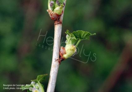 Herbiolys bourgeon de cassis gemmothérapie bio cassissier