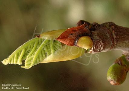Herbiolys gemmotherapie bourgeon figuier bio stress