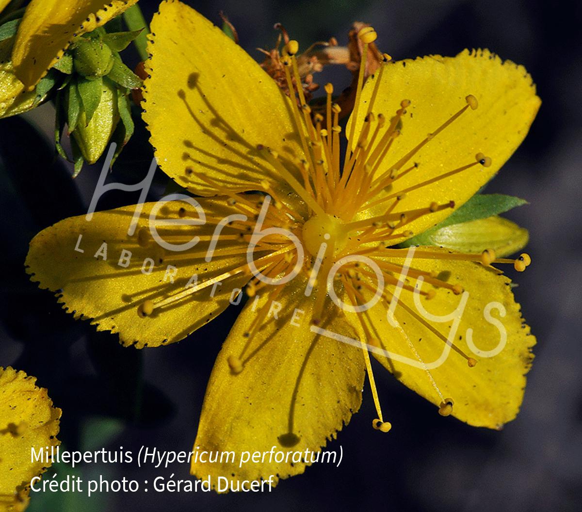 Millepertuis_Herbiolys
