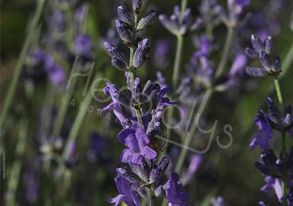 Herbiolys Sinolys rhume hiver ORL plantes