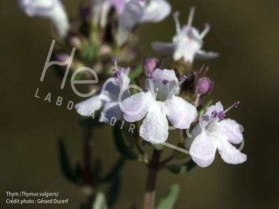 Herbiolys thym phytotherapie bio