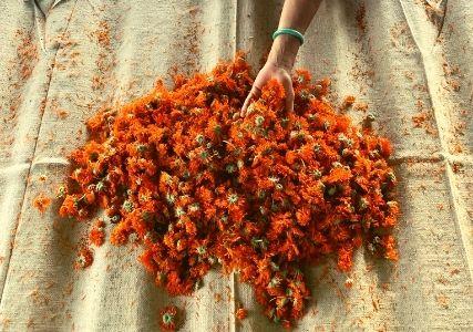 fleurs-calendula