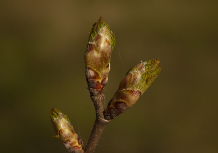 4 bourgeons contre les allergies