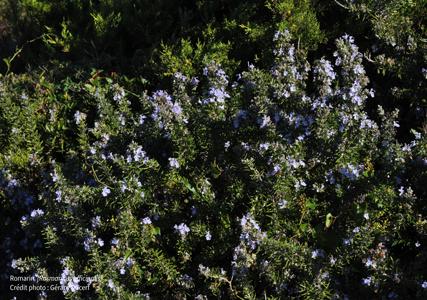 Le Romarin, du bourgeon à la plante entière : des propriétés exceptionnelles