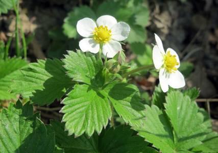 Le fraisier des bois… plante médicinale des gourmets !