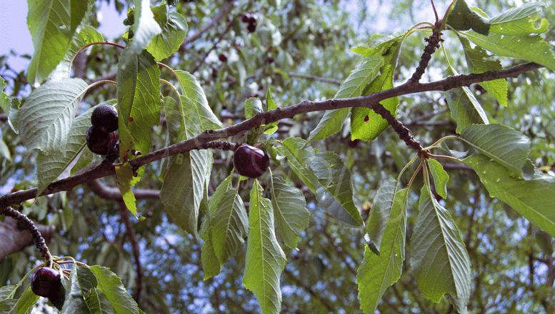 Les bienfaits de la phytothérapie de Cerisier