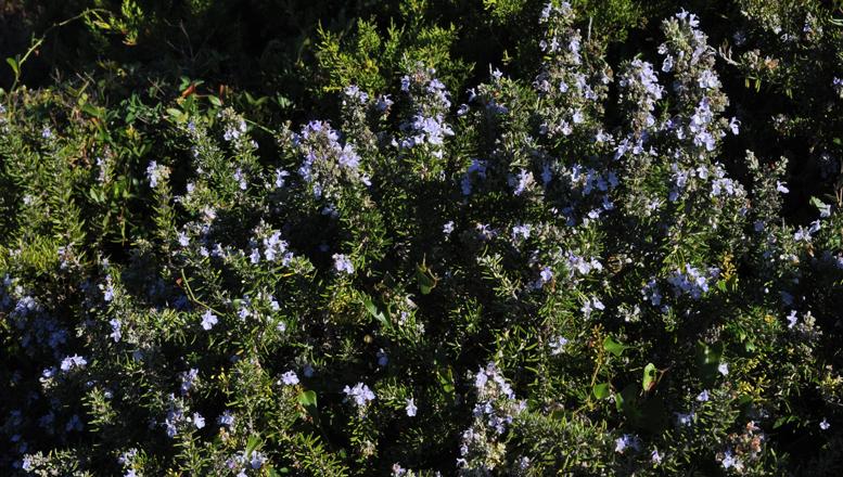 Le Romarin, du bourgeon à la plante entière