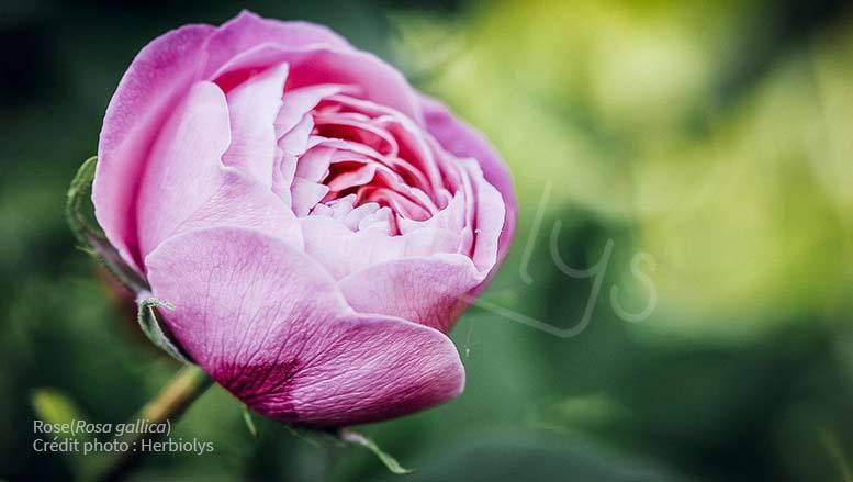 Philtres d'amour et plantes de sorcières pour la Saint Valentin